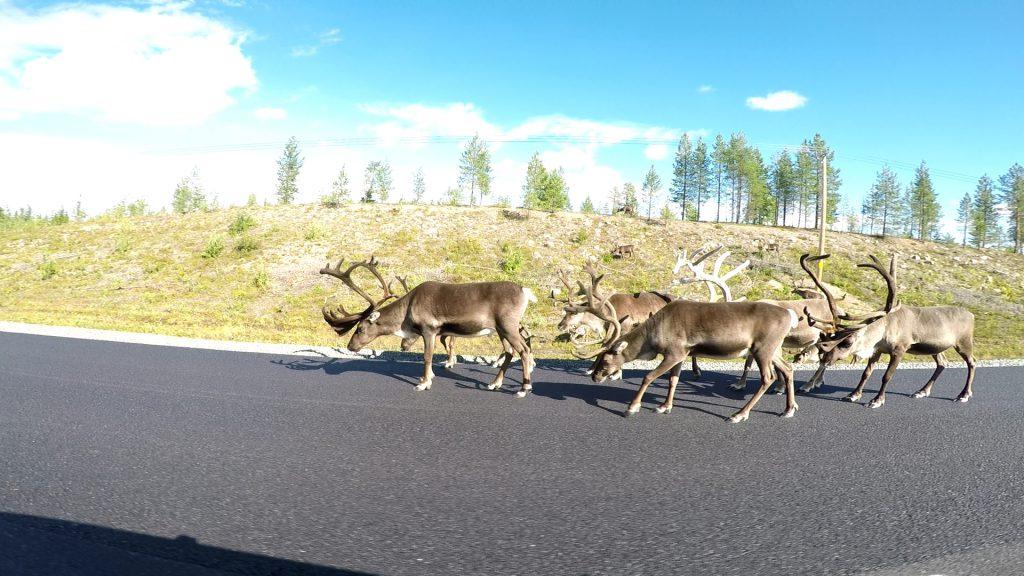 Rusa-rusa di jalanan