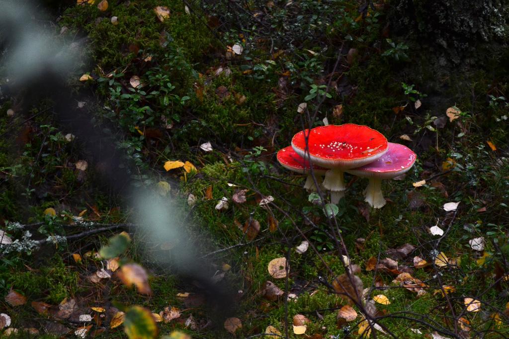 jamur amanita